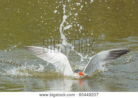 Caspian Tern Resurfaces After A Dive