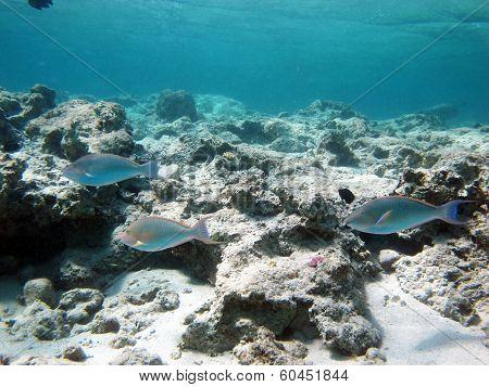 Longnose parrotfish