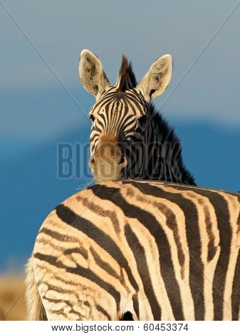 Portrait of a Plains (Burchells) Zebra (Equus burchelli), South Africa