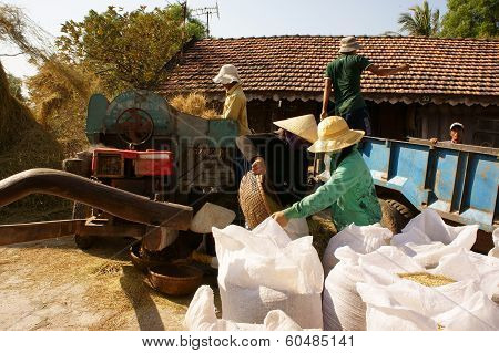 Farmer Harvesting Paddy Grain By Threshing Machine
