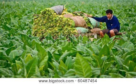 Tobacco Field  In Thailand