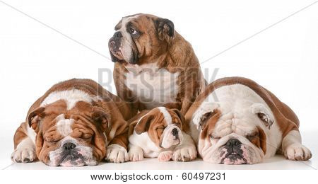 bulldog family - four generations - Great Grandmother in back, father on left, son and grandfather on right