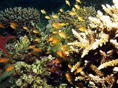 A group of small orange anthias on acropora coral poster