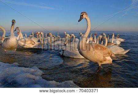 Swans on winter pond