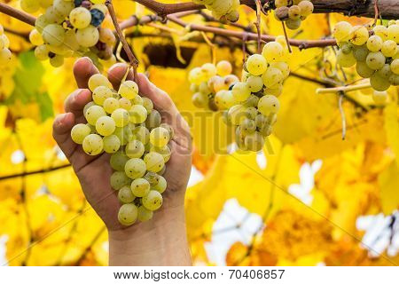 Farmer Holding White Grapes