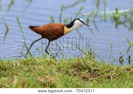 African Jacana Plod Along On Water Plants Chasing Small Insects