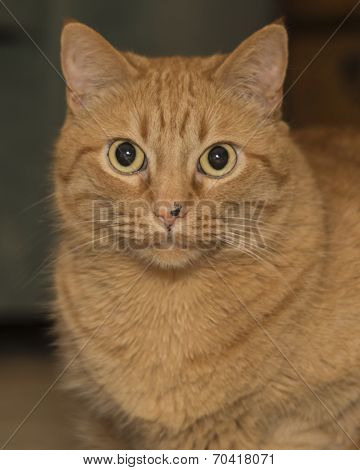 fat ginger cat with very narrow depth of field, focus on eyes only poster