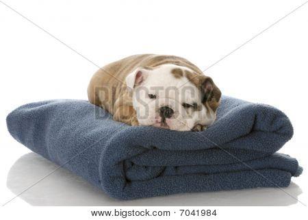 nine week old english bulldog puppy sleeping on a blue blanket poster