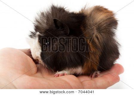 Abyssinian Guinea Pig, Cavia Porcellus