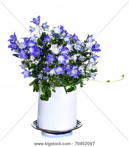 window plant Campanula