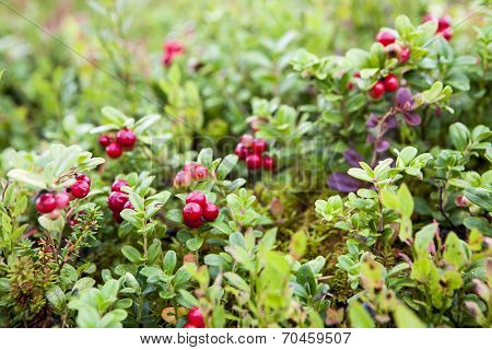 Lingonberries On Bush