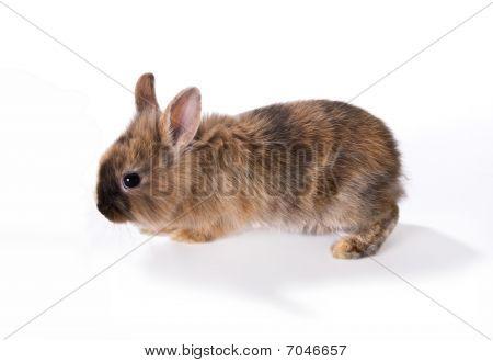 Walking Rabbit