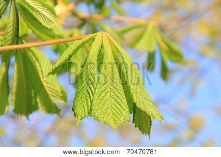 Young Chestnut Leaves, Sprouting At Springtime