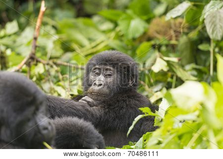Young Gorilla In The Forest