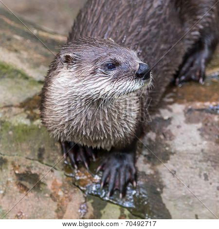 European Otter In Nature.