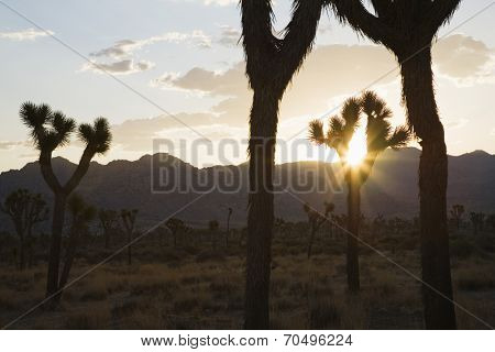 Silouette of Joshua trees in desert at sunset