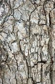Rough surface of bark tree in macro. poster