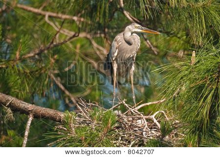 Great Blue Heron and Nest