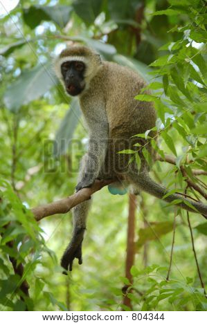 Vervet monkey in tree