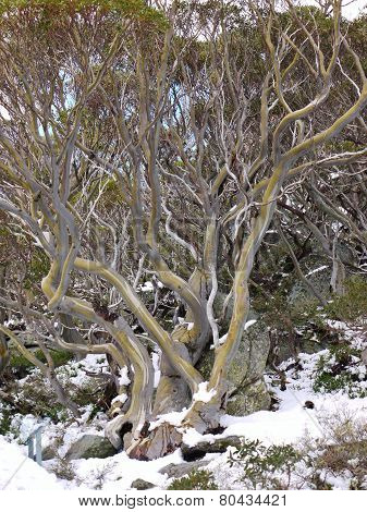 Trees in the Australian mountains