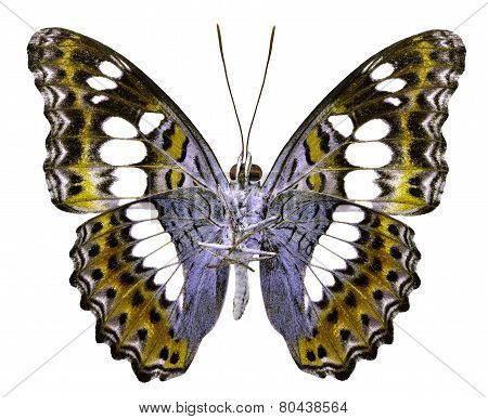Common Commander Butterfly lower wing in fancy yellow color profile isolated on white background poster