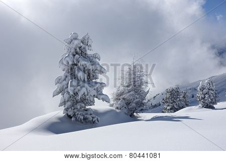 Christmas trees in natural snowy winter landscape