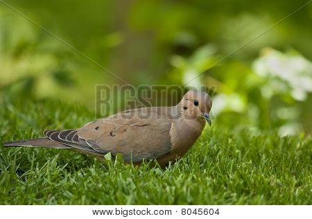 Mourning dove Zenaida macroura in the grass poster