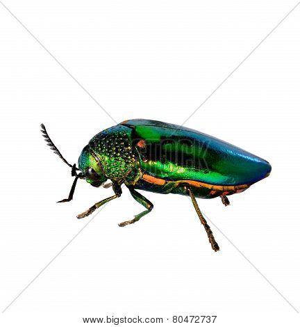 Jewel Beetle or Metallic Wood-boring (Buprestid) isolated on white background poster