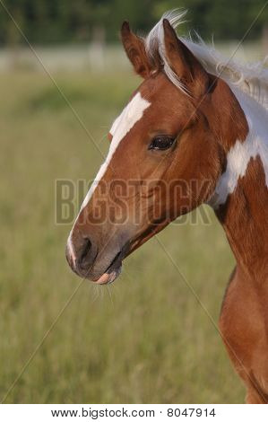 white brown paint horse filly