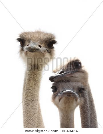 three funny ostrich heads