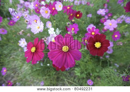 Cosmos (Cosmos bipinnatus) is an annual and perennial plant in the family Asteraceae native to scrub and meadow areas in Americas. They are herbaceous perennial plants. poster