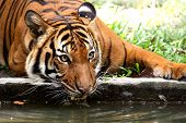 tiger taking a refreshing drink from a river moat to cool off poster