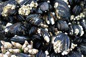 Mussels growing on Coastal Rocks poster