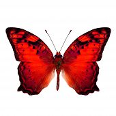 Beautiful Vagrant Butterfly upper wing in fancy red color profile isolated on white background poster