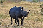 A Black Rhinoceros in the Kruger Park South Africa. poster