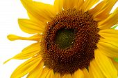 Extreme close up of isolated sunflower. poster