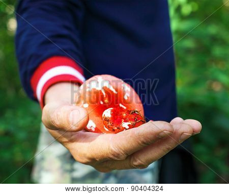 Eatable Mushrooms In A Hands Of A Man