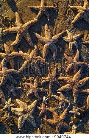 Seastars On The Beach