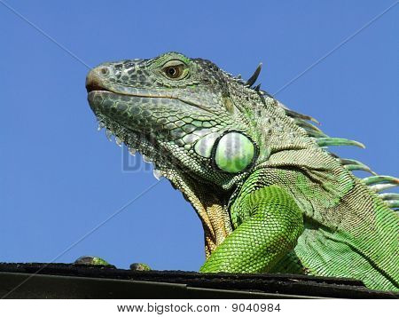 Lizard on Perch