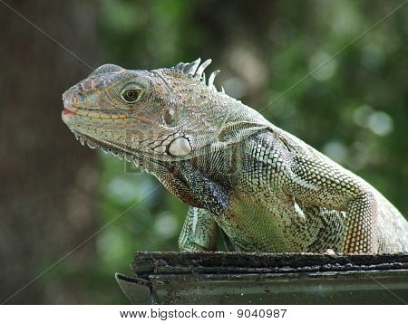Iguana on Ledge
