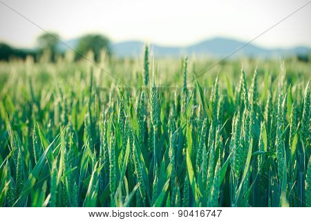 Unripe wheat field - immature wheat (grain)