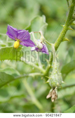 Solanum flowers In the garden of the farmer