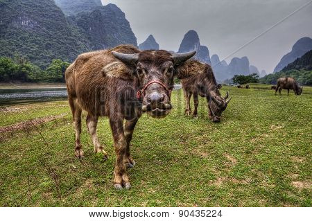 Livestock In Southern China, Cows Grazing On Pasture In Guangxi.