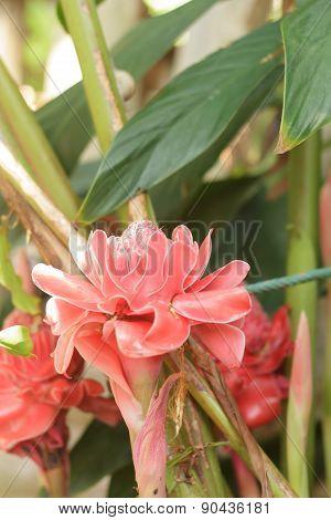 Etlingera elatior flower   for decoration a beautiful garden