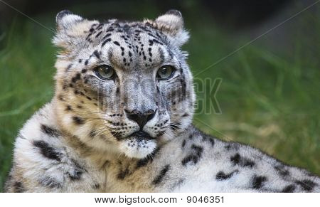 Snow Leopard Looking Right