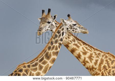 Giraffe in courtship