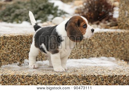 Beautiful Beagle Puppy In Winter