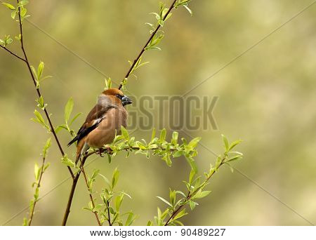 Hawfinch Sits On A Thin Branch(coccothraustes Coccothraustes)
