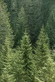Healthy big green coniferous trees in a forest of old spruce fir and pine trees in wilderness area of a national park lit by bright yellow sunlight. Sustainable industry ecosystem and healthy environment concepts. poster