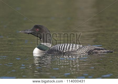 Common Loon In The Wilderness